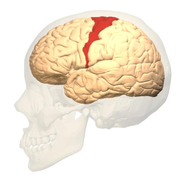 motor_cortex